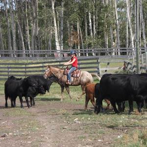 Farmstay Kanada, Erfahrungsbericht, Kühe, Pferde