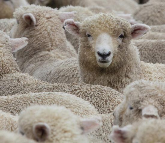 Farmstay, Kanada, Schaf, Herde, Menge