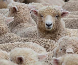Farmstay Neuseeland, Schaf, Herde, Menge