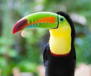 Schueleraustausch Ecuador, Vogel, Tukan, bunt