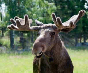 Schüleraustausch Schweden, Tier, Elch