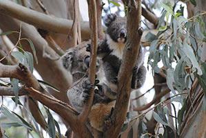 schueleraustausch-australien-koalabaer-im-baum