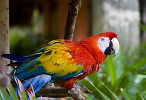 schueleraustausch-costa-rica-papagei-roter-kopf