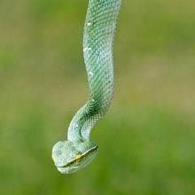 Costa Rica giftigstes Tier, Lanzenotter