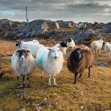 Irland Einwohnerzahl, Schafe
