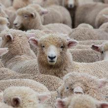 Auslandsaufenthalt Neuseeland, Schafe, Anzahl