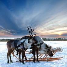 Elche mit Schlitten im Schnee in Skandinavien