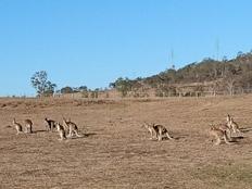 Farmstay, Australien, Luise, Kängurus