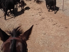 Farmstay, Australien, Luise, Kühe treiben