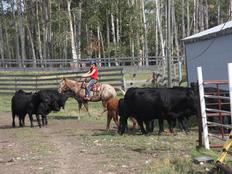 erfahrungsbericht-farmstay-kanada-agnes-schanz-bullen
